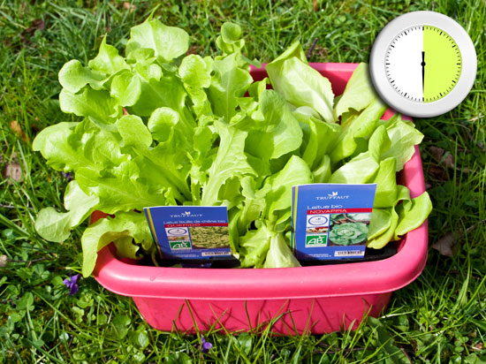 Salades en bassine