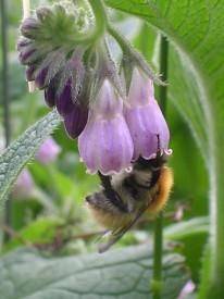 Fleur de consoude butinée par une abeille
