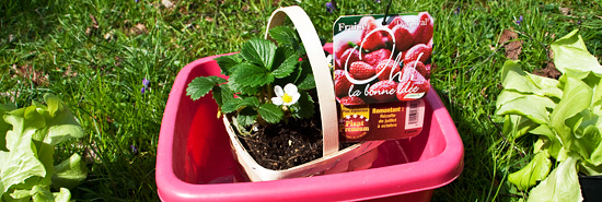 Plants de fraisiers dans une bassine