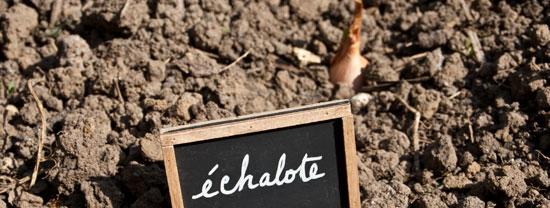 Plantez des échalotes