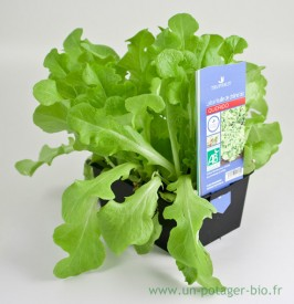 Plants de salades bio