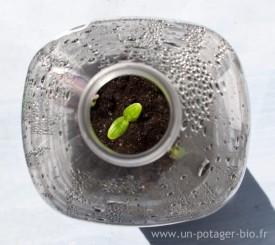 Plant de concombre dans une bouteille en plastique