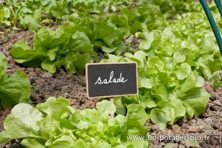 Salades du potager