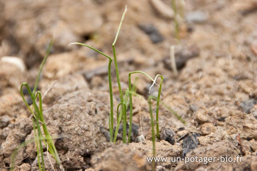 A pousse au potager 1 un potager bio - Plants de poireaux a repiquer ...